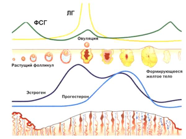 изменение гормонального фона в зависимости от фазы менструального цикла