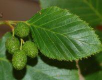 Листья ольхи