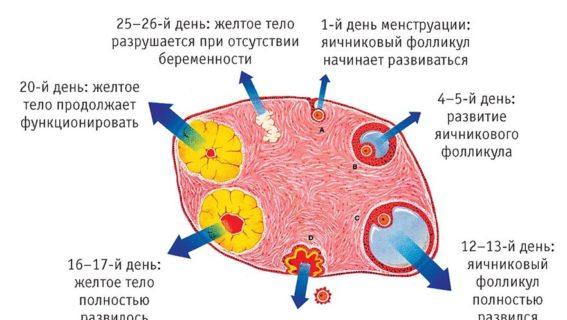 Процесс созревания яйцеклетки