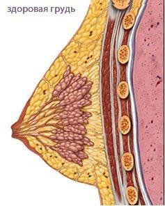 строение здоровой молочной железы
