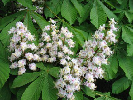 каштановые цветки